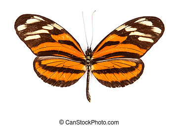 Black and orange butterfly Heliconius ismenius isolated on ...