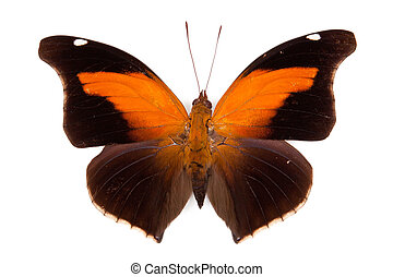 Black and orange butterfly Historis odius isolated