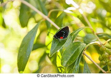 Black and orange red Atala butterfly called Eumaeus atala
