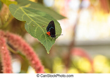 Black and orange red Atala butterfly called Eumaeus atala perches on a green leaf