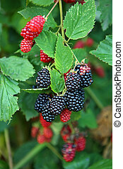 Black and red blackberry fruit in nature