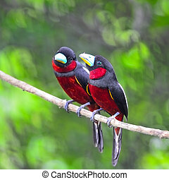 Black-and-Red Broadbill - Black and red bird, parents of...