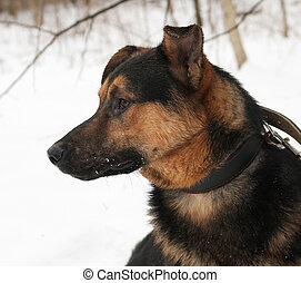 Black and red dog standing on snow
