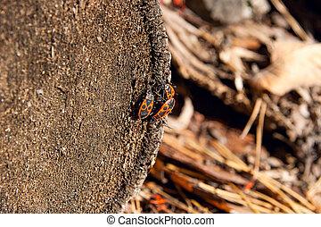 Black and red Firebug or Pyrrhocoris apterus, on a old tree trunk