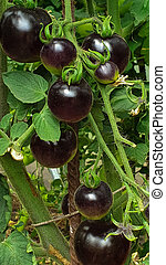 Black and red tomatoes grow in a greenhouse on an organic farm, Food and nature