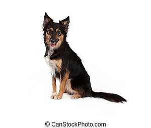 Black and Tan Border Collie Crossbreed - A cute young black...