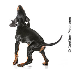 black and tan coonhound jumping up on white background