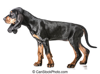 black and tan coonhound standing on white background