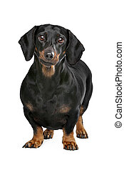 dachshund black and tan in front of white background
