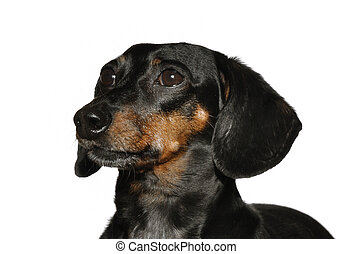 Black and Tan Short Haired Dachshund - Portrait of Black and...