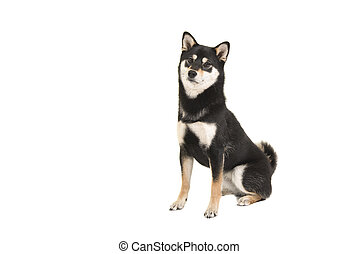 Black and tan sitting shiba inu dog looking at the camera isolated on a white background