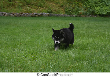 Black and White Alusky Puppy Walking in a Grass Yard