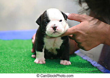 American Bulldog Puppy On Nature Funny Nice Red White American