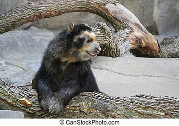 Black and White Andean Bear, the only bear in south America...