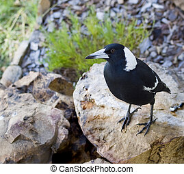 black and white australian magpie Gymnorhina tibicen sitting on boulder