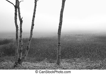 Black and white Birch Trees