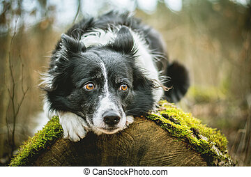 Black and White Border Collie. Dog Lying on the Mossy Log in the Forest.