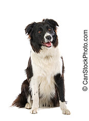 Black and white border collie dog sitting in front of a...