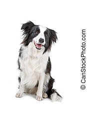 Black and white border collie dog sitting, isolated on a...