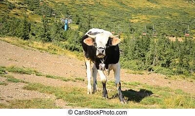 Black and white bull calf bellows in mountains - Black and...