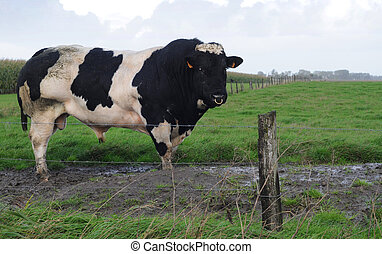 Black and white bull with nosering in polder landscape