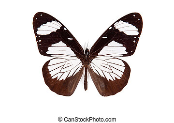 Black and white butterfly Amauris niavius isolated on white background