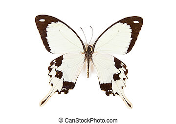Black and white butterfly Papilio dardanus isolated