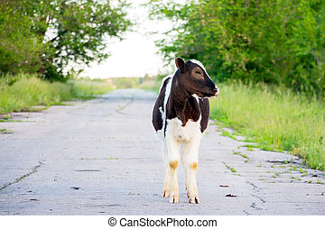 Black and white calf