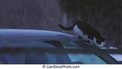 black and white cat descends the windshield of the car
