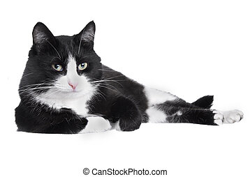 Black and white cat looking at the camera