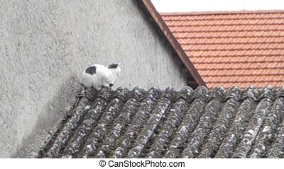 at on asbestos roof - Black and white cat on asbestos roof