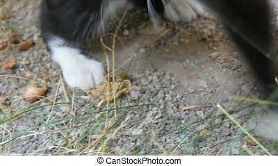 Black and white cat plays with a real lively gray mouse in the yard on green grass