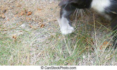 Black and white cat plays with real lively gray mouse in the...