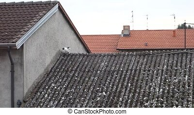 Black and white cat roof - Black and white cat on asbestos...
