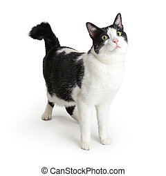 Black and white cat standing looking up