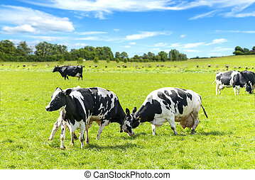 Black and white cattle battle on a green field