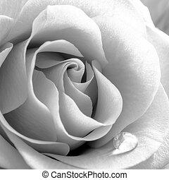 Black and White Close up Image of Beautiful Rose. Macro Flower Background Photo