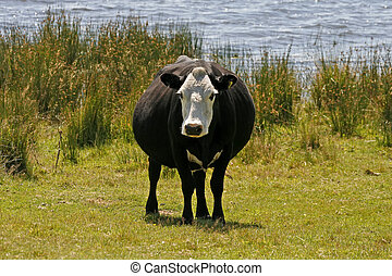 Black and white cow, Cornwall, England