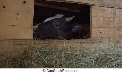 Video of cow in the stall - real life in the farm