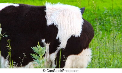 Black and white cow grazing in a meadow