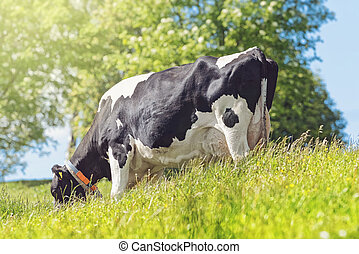 Black and white cow grazing in the lush green grass in sunlight