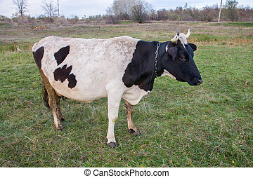 black and white cow grazing on the green grass