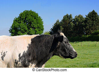 Black and white cow in meadow with trees in the background
