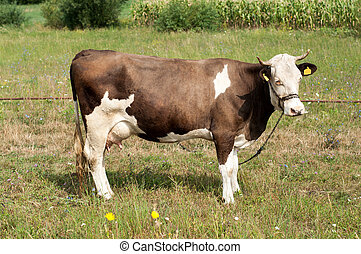 black and white cow tied with chain on pasture