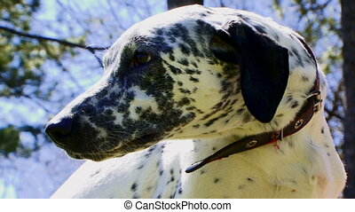 Black and white dalmatian - Beautiful purebred dalmatians...