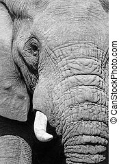 Black and white elephant portrait