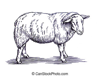 engrave ink draw sheep illustration - black and white...