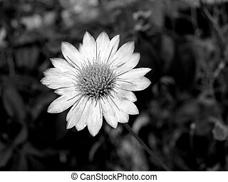 black-and-white, flower.