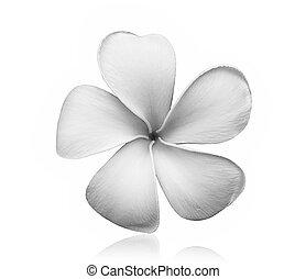 black and white Frangipani flower isolated on white background