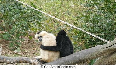 Black and white gibbon are sitting on branch. Black gibbon...